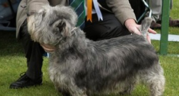 http://www.ikc.ie/dog-ownership/types-of-dog/breeds/native-breeds-of-ireland/irish-glen-of-imaal-terrier