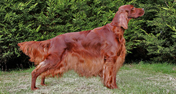 http://www.ikc.ie/dog-ownership/types-of-dog/breeds/native-breeds-of-ireland/irish-red-setter