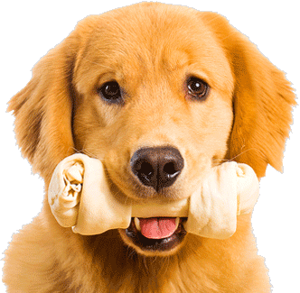 Golden-Retriever-dog-with-bone