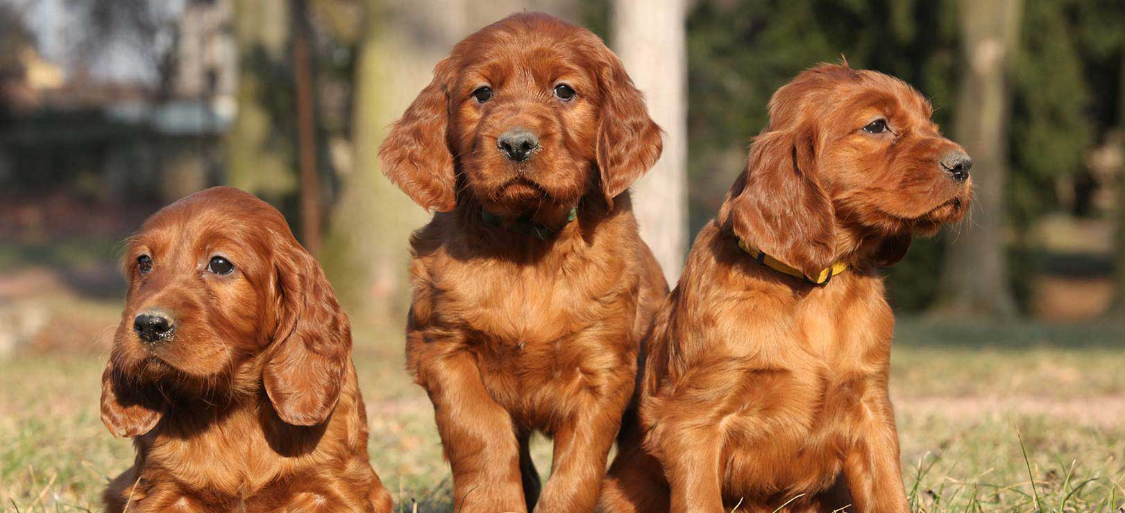 Irish-Red-Setter-Puppies