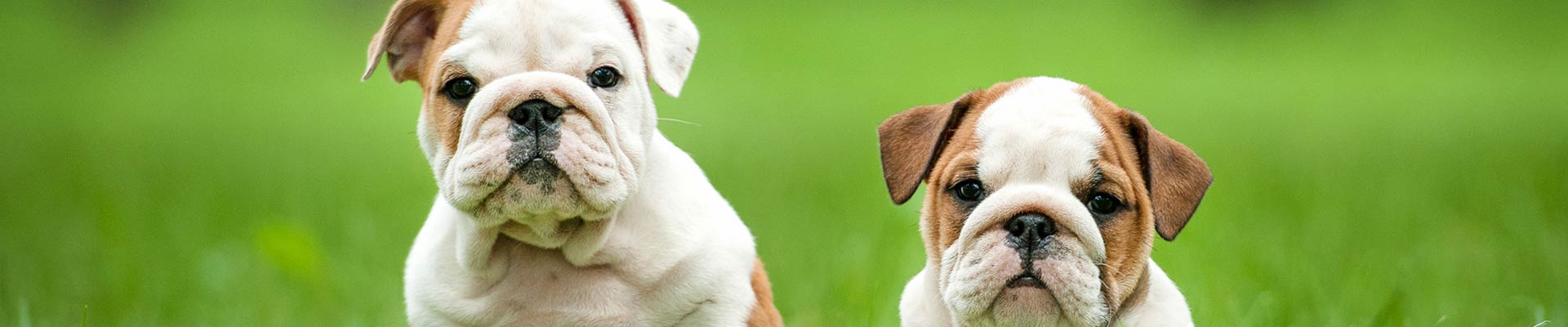 bulldog-puppies-banner