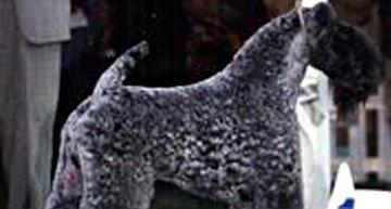 Kerry Beagle